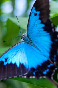 幸せの蝶 ユリシスの写真素材 [FYI00187962]