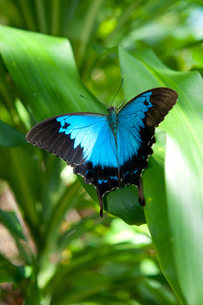 ユリシス 幸せの蝶の写真素材 [FYI00187968]