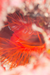 光る貝 ウコンハネガイの写真素材 [FYI00187972]