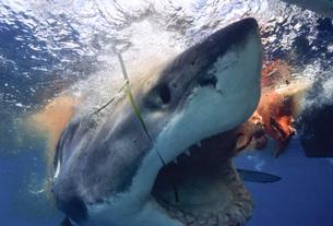 ジョーズ ホホジロザメの写真素材 [FYI00187978]
