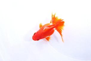 金魚(流金)の写真素材 [FYI00188047]