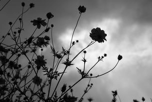 空とコスモスのシルエットの写真素材 [FYI00188151]