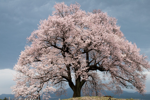 桜の写真素材 [FYI00188158]