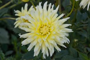 白い花の写真素材 [FYI00188163]