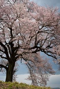 桜の写真素材 [FYI00188185]