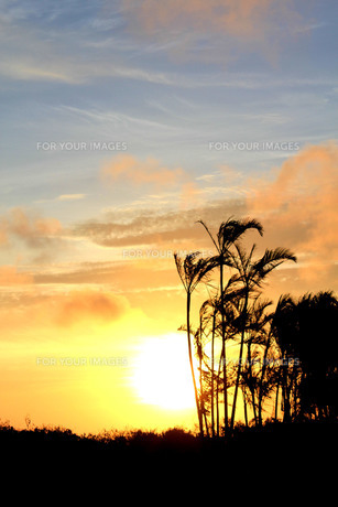 夕焼けに照らされた ヤシの木の素材 [FYI00188356]