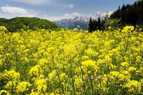 菜の花 満開 白馬連山 北アルプス 高原 春の写真素材 [FYI00188395]