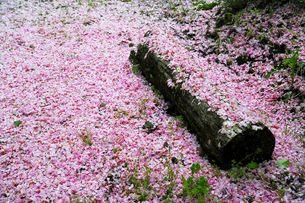 桜花びら散る花絨毯の写真素材 [FYI00188402]