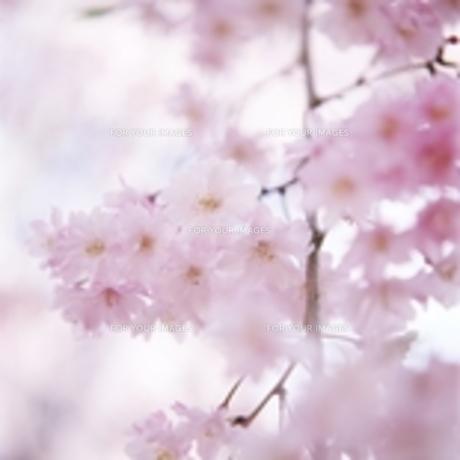 桜 背景ボケが美しい スクエアフォーマットの素材 [FYI00188403]