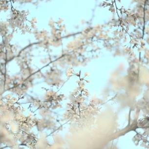 桜 パステルカラー 満開の素材 [FYI00188404]