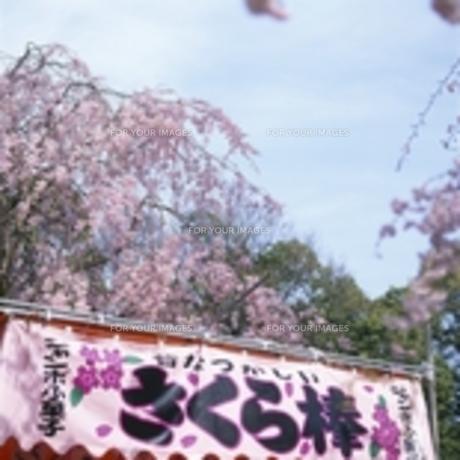 春祭りの満開の桜と屋台の写真素材 [FYI00188405]