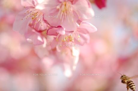 桜 ミツバチ ボケの写真素材 [FYI00188417]