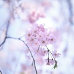 桜 スクエアフォーマットの写真素材 [FYI00188443]