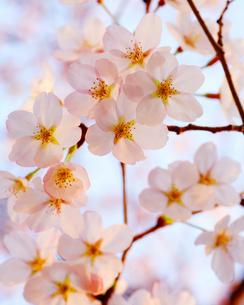 かわいい春の写真素材 [FYI00188519]