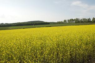 キガラシの畑の写真素材 [FYI00188767]