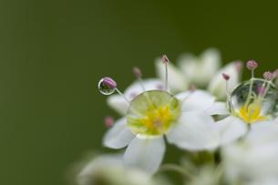 ソバの花と水滴の写真素材 [FYI00188837]