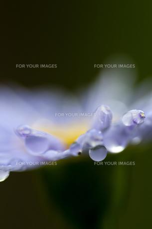 花びらとしずくの素材 [FYI00188845]