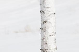 白樺の幹の写真素材 [FYI00188859]