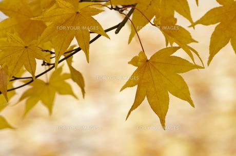 黄色く色づいたモミジの素材 [FYI00188867]