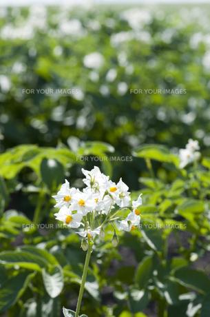 ジャガイモの花の素材 [FYI00188927]