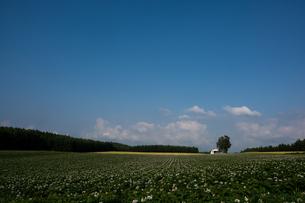 青空の下に広がるジャガイモ畑の写真素材 [FYI00189011]