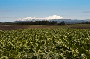 野菜畑と冠雪した大雪山の写真素材 [FYI00189076]