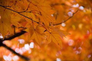 黄色く色づいたモミジの写真素材 [FYI00189107]