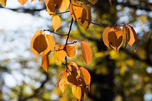 黄葉した木の葉の写真素材 [FYI00189113]