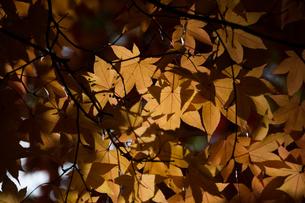 黄色く色づいたモミジの写真素材 [FYI00189118]