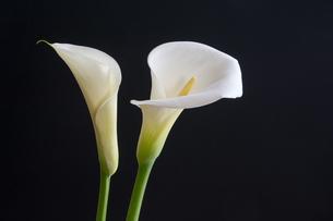 白いオランダカイウの写真素材 [FYI00189134]