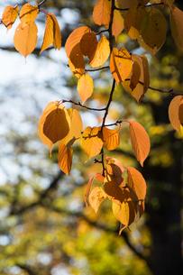 黄葉した木の葉の写真素材 [FYI00189135]