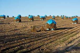 ニオのある畑の写真素材 [FYI00189139]