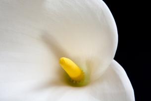 白いオランダカイウの写真素材 [FYI00189148]