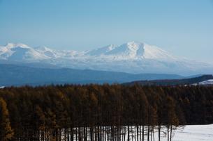 カラマツ林と大雪山の写真素材 [FYI00189179]