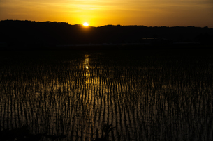 水田に映る夕焼けの写真素材 [FYI00189212]