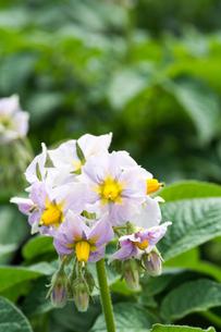 ジャガイモの花の写真素材 [FYI00189230]
