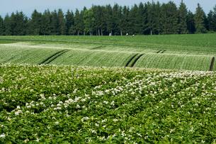 満開のジャガイモ畑の写真素材 [FYI00189244]