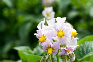ジャガイモの花の写真素材 [FYI00189245]