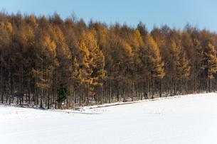 初冬のカラマツ林の写真素材 [FYI00189325]