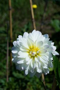 白いダリアの素材 [FYI00189333]