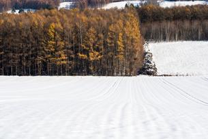 初冬のカラマツ林の写真素材 [FYI00189348]