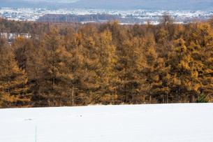 初冬のカラマツ林の写真素材 [FYI00189349]