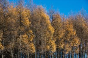 色づいたカラマツ林と青空の写真素材 [FYI00189351]