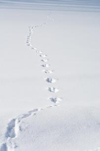 雪原の野生動物の足跡の写真素材 [FYI00189361]
