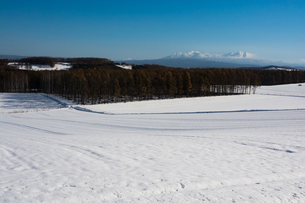 カラマツ林と大雪山の写真素材 [FYI00189385]