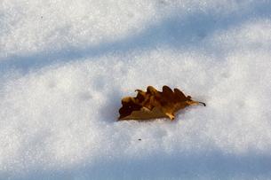 雪上の枯れ葉の素材 [FYI00189475]