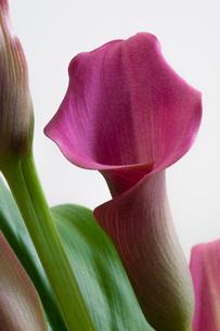 ピンクのオランダカイウの写真素材 [FYI00189545]