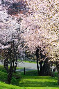 満開の桜の花の写真素材 [FYI00189590]