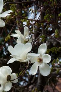 満開のハクモクレンの花の写真素材 [FYI00189604]
