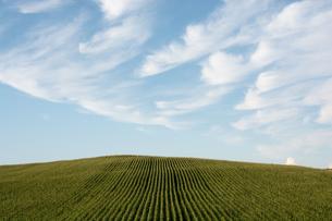 夏空とトウモロコシ畑の写真素材 [FYI00189624]